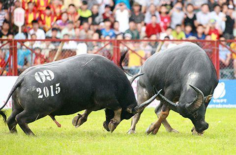The Do Son buffalo fighting festival