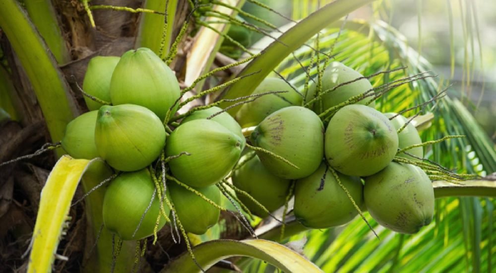THE FIFTH BEN TRE COCONUT FESTIVAL: HONORING THE BEAUTY OF THE COCONUT LAND